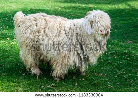 An adult mohair wool goat on pasture