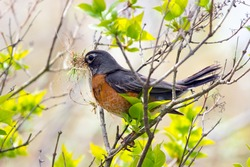 An adult North American Robin collecting nesting material in the late spring in Canada.