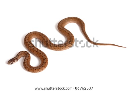 An adult Northern brown snake (Storeria dekayi) forms some S-shaped curves on a white background