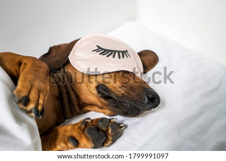 An adult red-haired dachshund is resting in a white bed and wearing pink glasses for sleeping. Dachshund sleeping in bed. Side view. Foto stock ©