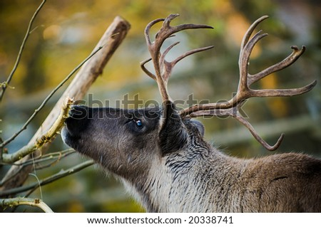 an adult reindeer from swedish lapland