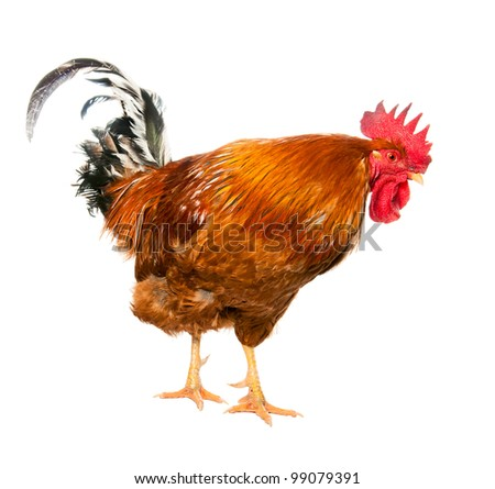 An adult rooster on white background. isolated