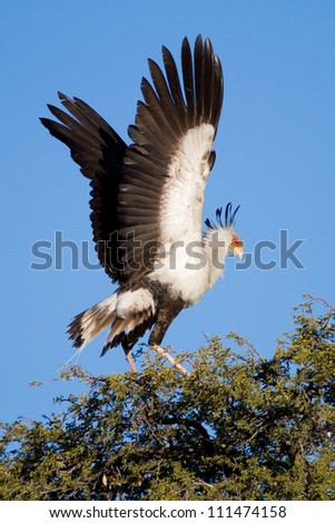 An adult secretary bird flapping its wings at the top of a tree