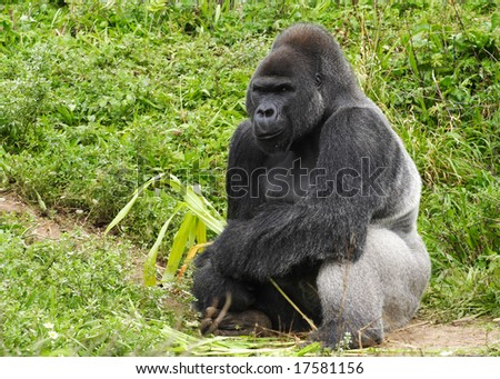 stock photo : An adult silver back male gorilla feeding on vegetation