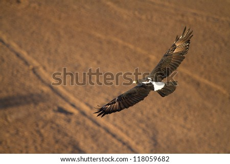 An adult Verreaux's Eagle flying over a sandy riverbed in Botswana's Tuli Block