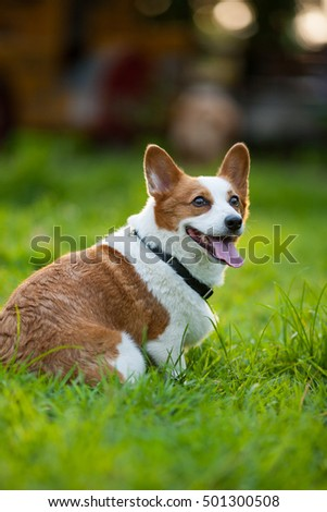 An adult welsh corgi pembroke play in the park #501300508