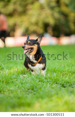 An adult welsh corgi pembroke play in the park #501300511