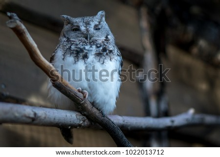 An adult Whiskered Screech-Owl perched on a branch at dusk - Shutterstock ID 1022013712