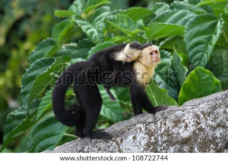 White Faced Capuchin Baby an Adult White-faced Capuchin