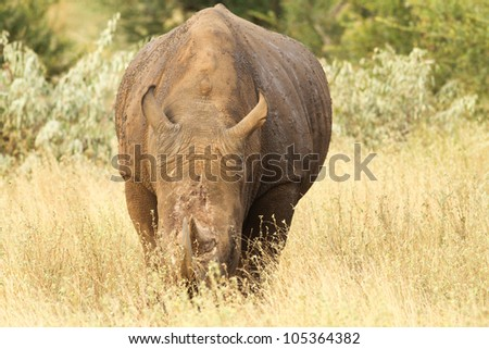 An adult white rhino bull in Kruger national park, south africa