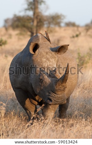 An adult white rhino bull in the kruger national park, south africa