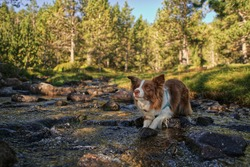 An adventurous and alert beautiful dog. Brown Border Collie dog is waiting in a creek. Pretty face dog in a river with rocks and forest landscape. Pet on the nature by the water. Concept adventure dog