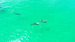 An aerial shot of a pod on dolphins swimming in the ocean