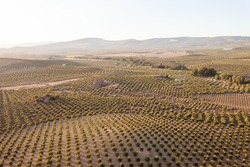 An aerial view of a vineyard in the countryside of Andalusia, Spain