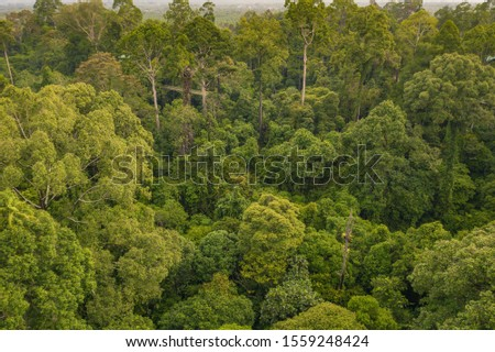An aerial view of Borneo jungle, Stunning view of Tropical Rainforest in Rainforest Discovery Centre (RDC), Sandakan - Sabah, Malaysia. #1559248424