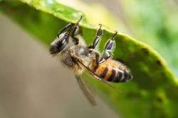 An African bee feeding on honeydew from aphids under a lemon leaf