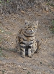 An african black-footed cat, very rare species
