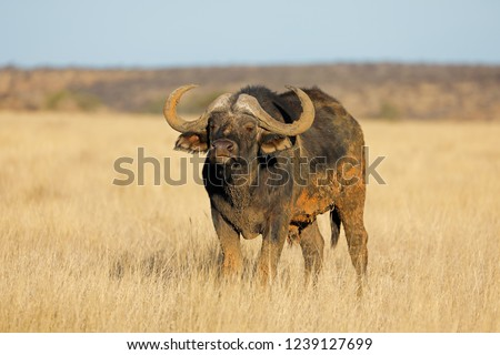 An African buffalo (Syncerus caffer) in open grassland, Mokala National park, South Africa