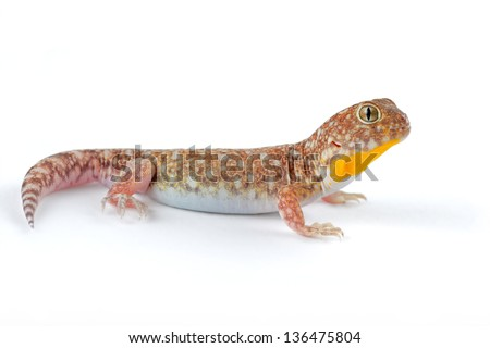 An African common barking gecko (Ptenopus garrulus) on white