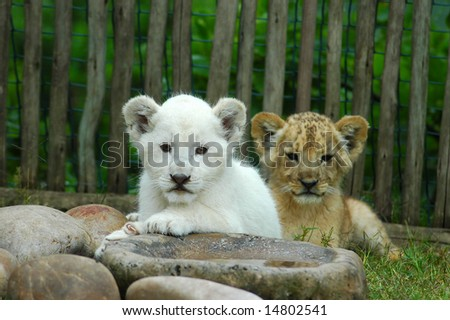 An African common lion cub lying together with a beautiful rare white lion cub watching other lions in a game park in Port Elizabeth, South Africa