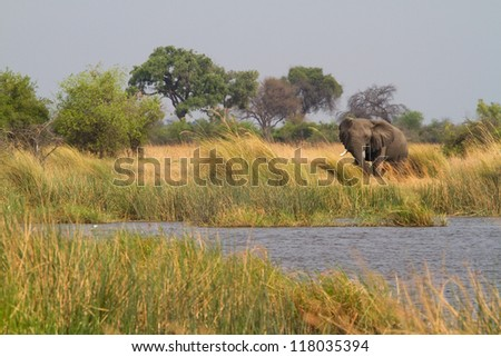 An african elephant bull feeding in the reeds of mamili national park, caprivi