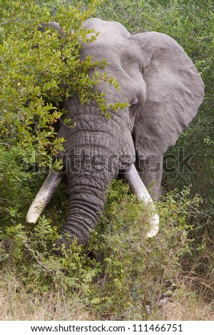 An African elephant bull with massive tusks feeding in a thicket