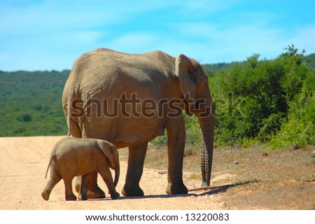 An African elephant cow and her calf walking together in a game reserve in South Africa
