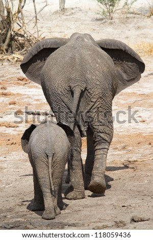 An African elephant cow and her young calf walking away from the camera - stock photo