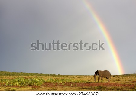 An African elephant crosses an open field with a rainbow in the background. South Africa