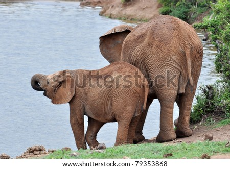 An African Elephant family in the Addo Elephant Park, South Africa.