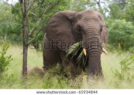 An african elephant feeding on grass