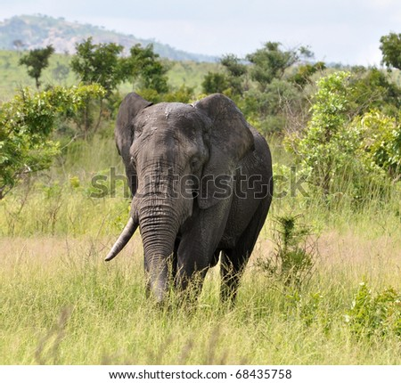An African Elephant in the Kruger National Park, South Africa.