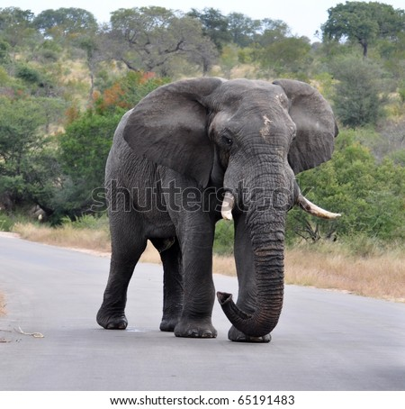 An African Elephant in the Kruger Park, South Africa.