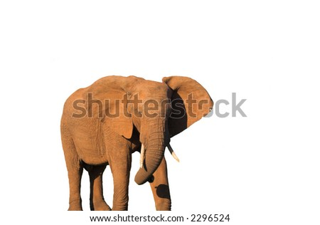 An African Elephant isolated on white background