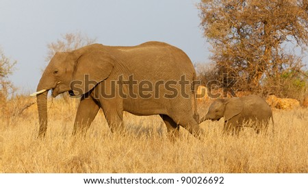 An African elephant (Loxodonta africana) with her calf, Kruger National Park, South Africa.