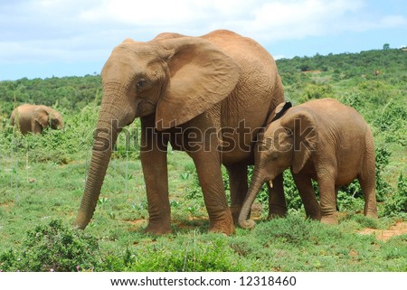 An African elephant mom walking together with her cute little baby in the bushland of National Addo Elephant Park, Eastern Cape, South Africa