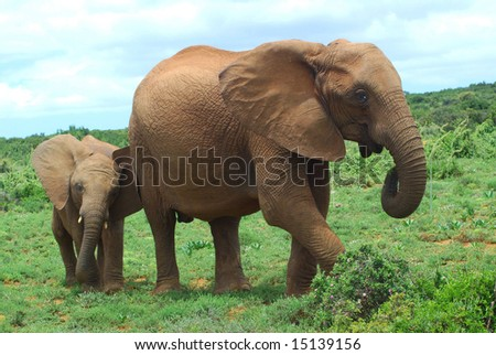 An African elephant mom walking together with her cute little baby in the bushland of the Addo Elephant park in South Africa