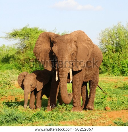 An African elephant mom walking together with her cute little baby in the bushland of the Lake Manyara National Park in Tanzania