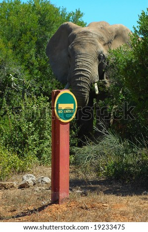An African elephant walking out of a bush towards a path with a no entry sign in a game park in South Africa