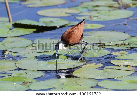 An African Jacana walking on lilies showing off its large feet