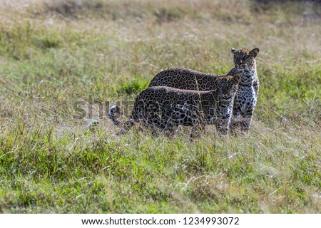 An African Leopard with Cub #1234993072