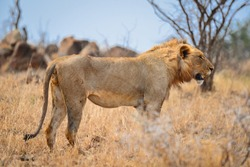 An African lion observing its environs in the grasslands of central Kruger National Park, South Africa
