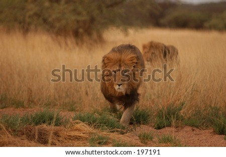 An African lion prowling in the grass, Namibia, Africa