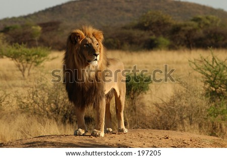 Stock Photo An African lion standing on a mound, Namibia Africa