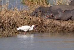 An African Spoonbill wading next to sleeping hippopotomus.