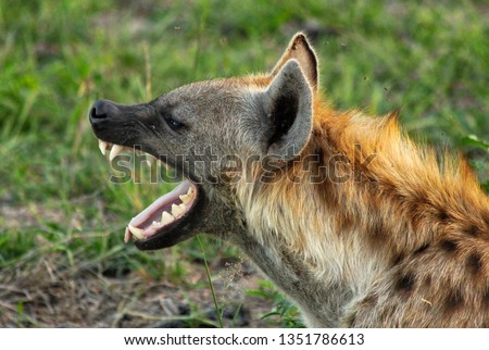 An African Spotted Hyena yawning showing it's big teeth