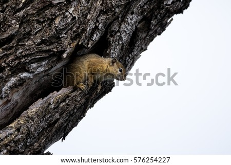 An African Tree Squirrel peers out from his treetop home checking that no danger is close #576254227