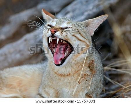 Cat In Desert. An African wild cat (Felis