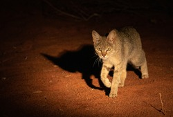 An African Wild Cat gets active as night falls in the Kalahari.