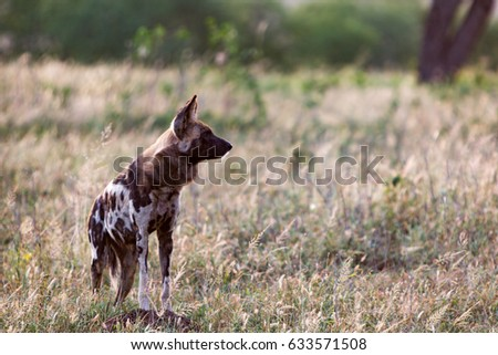 An African wild dog watches the rest of the pack in dry grassland at the Zebra Hills private game reserve in Hluhluwe, South Africa. #633571508